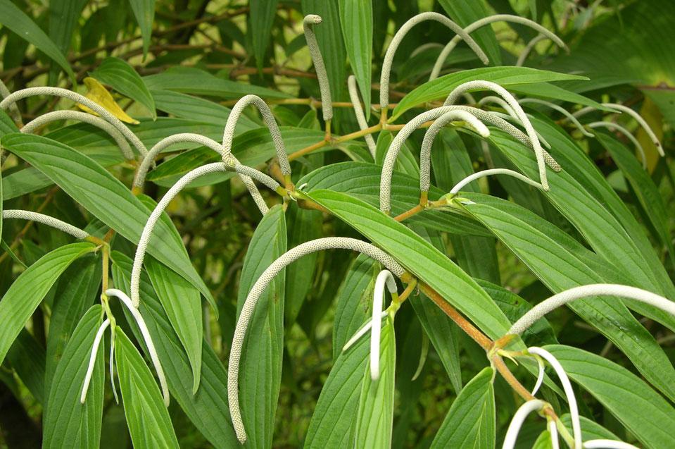 Tình yêu cây cỏ ĐV2 - Page 23 Piper_friedrichsthalii_2750_05